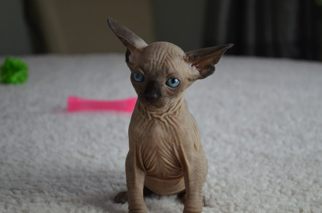 Adoption Prices - Purrbastet Sphynx, Bambino & Elf's